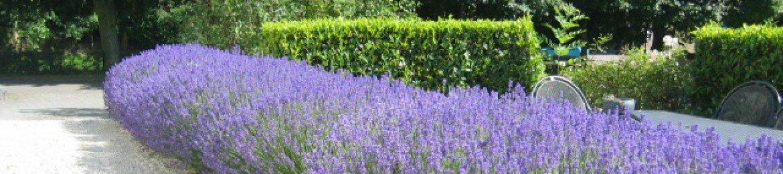 Lavendel gillishof